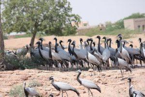 Jodhpur Turns BirdWatchers' Paradise in Winter, Welcomes Migratory Birds