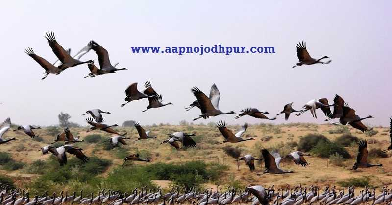 Jodhpur Turns BirdWatchers' Paradise in Winter, Welcomes Migratory Birds